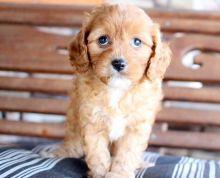 Ckc Cavapoo Puppies @ Email at us  [ dowbenjamin8@gmail.com ]