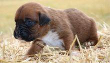 Ckc Labrador Retriever Puppies Email at us  [ dowbenjamin8@gmail.com ]