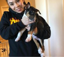 Energetic Ckc Bull Terrier Puppies Available For Adoption
