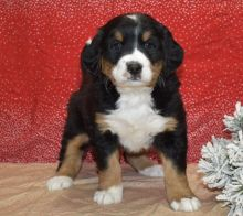 Staggering Ckc Bernes Mountain Puppies