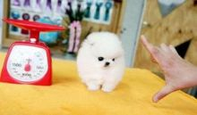 T-Cup Pomeranian Puppies For A Good Home