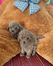 Fabulous Ckc  Toy Poodle Puppies    Email at us   [ dowbenjamin8@gmail.com ]