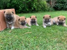 Males and Females Shiba Inu Pupp's