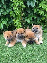 Shiba Inu puppies natured and friendly