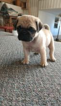 Registered Pedigree Pug Puppies Available