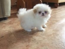 Temperate Japanese Chin Puppies For Adoption Image eClassifieds4u 1