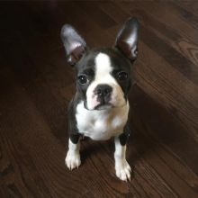 Charming Ckc Boston Terrier Puppies Available [ justinmill902@gmail.com]