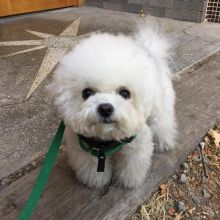 Dramatic Ckc Bichon Frise Puppies Available [ justinmill902@gmail.com]