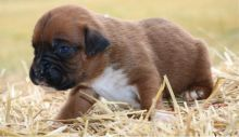 Adorable Ckc Boxer Puppies Available [ justinmill902@gmail.com]