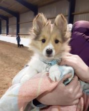 Eye-Catching Ckc Sheltie Puppies Available