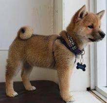 Pure-bred Shiba inu puppies for sale