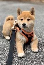 Shiba inu pups Registered