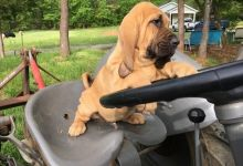 floren will Bloodhound now for sale