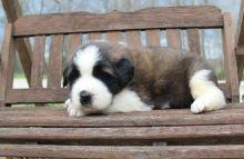 Most pretty Saint Bernard puppies for sale