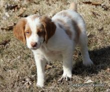 Brittany Spaniel Puppies For Sale, Text (270) 560-7621