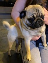 Delightful Pug Puppies For Sale, Text (270) 560-7621