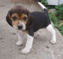 Devoted Beagle Puppies For Sale, Text (270) 560-7621