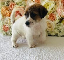 Jack Russell Puppies For Sale, Text (270) 560-7621