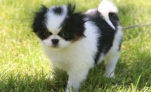 Japanese Chin Puppies For Sale, Text (270) 560-7621