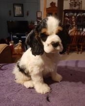 Loving er Spaniel Puppies For Sale, Text (270) 560-7621