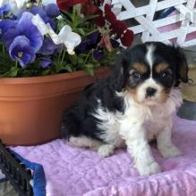 Fantastic Cavalier King Charles Spaniel Puppies For Sale, Text (270) 560-7621