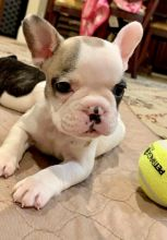 Gallant French Bulldog Puppies For Sale, Text (270) 560-7621