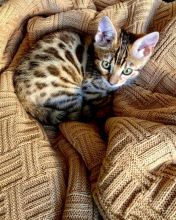 AWESOME Bengal Kittens Ready For Adoption Email address (lucassmoonray23@gmail.com)