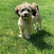 AMAZING CKC HAVANESE PUPPIES FOR RE-HOMING