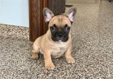 CKC French Bulldog Puppy for free adoption!!!
