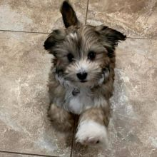 Havanese Puppies for adoption to perfect homes