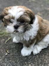 lovely shih tzu puppies for free adoption