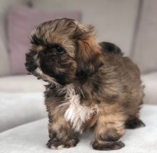Beautiful Kennel Club Registered Shih Tzu Puppies For Sale, Text +1 (270) 560-7621