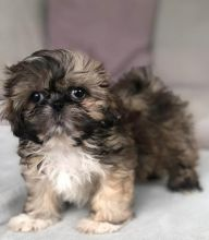 Bright Shih Tzu Puppies For Sale, Text +(270) 560-7621