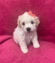 Brilliant Cavachon Puppies For Sale, Text +(270) 560-7621