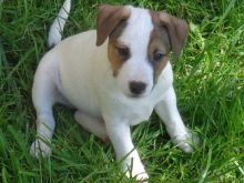 Adorable Jack Russel puppies for adoption