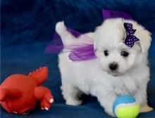 Purebred maltese puppies for adoption