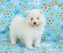 Samoyed Puppies Image eClassifieds4U
