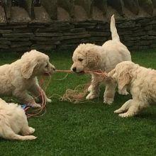 gyjuyk h Golden Doodle puppies