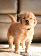 Beautiful golden retreiver puppies Image eClassifieds4U