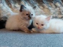 Rag doll male and female kittens for adoption