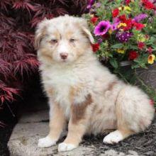Affectionate Australian Shepherd Puppies