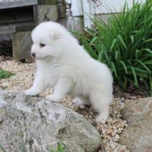 Charming male and female Samoyed pups