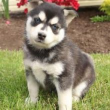 Lovely Pomsky Puppies Puppies