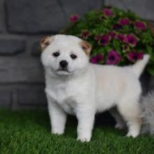 Loving Shiba Inu Puppies