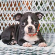 Outgoing Boston Terrier puppies