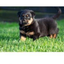 precious Rottweiler puppies