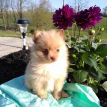 Two Pomeranian Puppies available