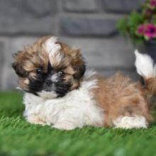 Adorable Male And Female Shih Tzu Puppies Image eClassifieds4U