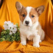cute Welsh Corgi puppies Image eClassifieds4U