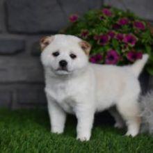 Loving Shiba Inu Puppies Image eClassifieds4U